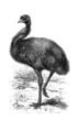 Australian Bird - Emeu