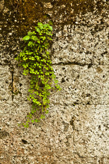 Old stone wall covered vegetation - Background.
