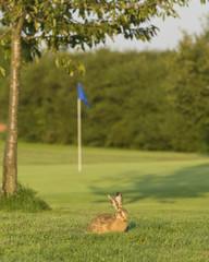 Feldhase auf dem Golfplatz