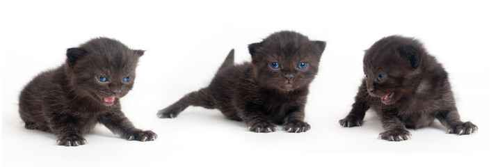 Black British kitten on a white background