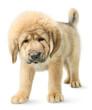 Puppy Tibetan mastiff isolated on white