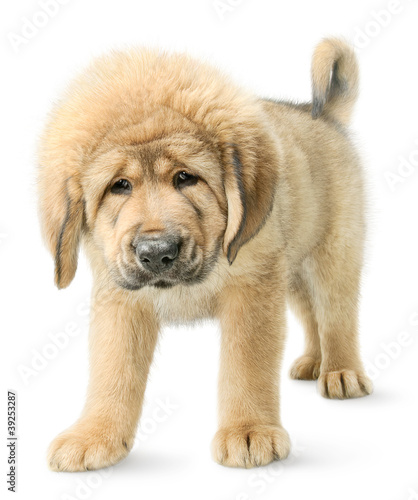 Puppy Tibetan mastiff isolated on white