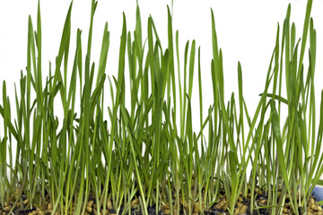 Growing wheat in six stages, stage five