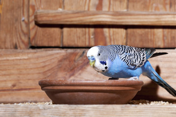 Young blue budgie