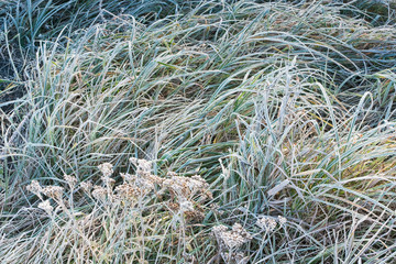 Green grass in the frost