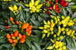 Colorful ornamental decorative peppers
