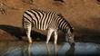 Plains Zebra drinking water, Mkuze, South Africa