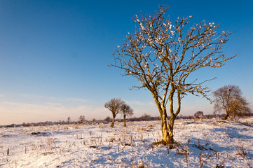 Bare solitary trees in winter