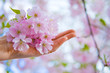 Hand with Japanese cherry tree's flowers in blossom
