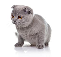 Little lop-eared kitten isolated on white