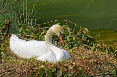 Foto op Canvas Zwaan wild swan brooding on the nest in the marsh