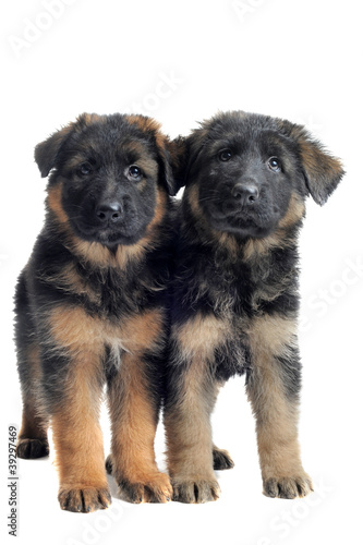 chiots berger allemands
