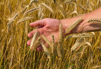 ears of ripe wheat in hand