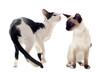 chatons orientaux et siamois