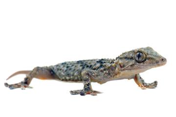 tarente ou gecko des murs