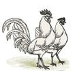 Poule et coq Livourne