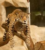 Fototapeta zoo - zwierzęta - Lwy / Tygrysy / Dzikie koty