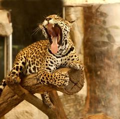 Leopard (Tiger)