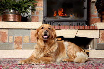 Golden retriever dog lying near a fireplace