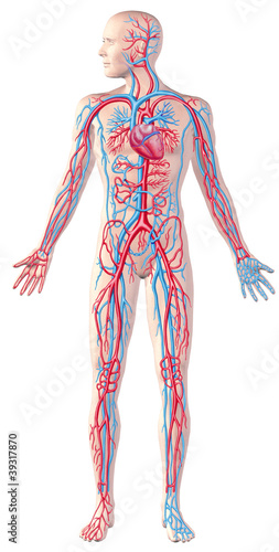 Human circulatory system, full figure, cutaway anatomy illustrat