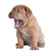 Funny puppy yawning