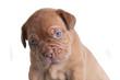 French Mastiff portrait