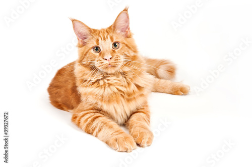 Red fur Maine Coon cat