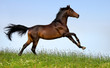 Bay horse running in field