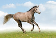 Gray horse galloping in field