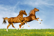 Two chestnut horses gallops on a green field