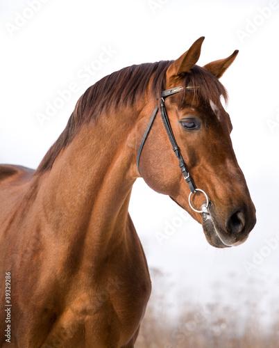 Fototapeten,pferd,outdoors,maronen,tier