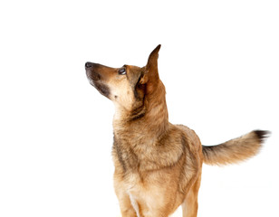 Aufmerksamer Schäferhund-Mischling mit großen Ohren