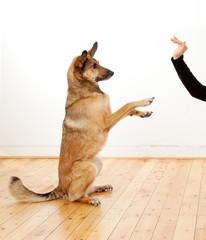 Schäferhund-Mischling mit großen Ohren macht Männchen