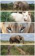 Elefant, Löwe und Giraffe