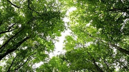 Young hornbeam forest