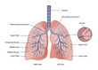 lung medical vector eps10 illustration