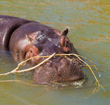 hippo in a murky green water