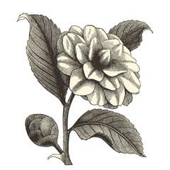 Camélia japonica
