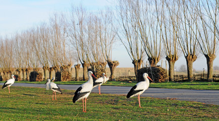 storks in winter in polder, selective focus