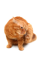 itchy ginger cat on a white background