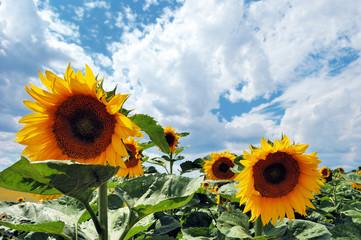 Ripe sunflowers against cloudy blue sky
