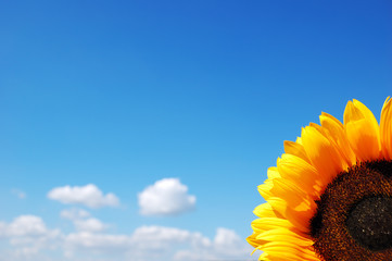 Sunflower on a background of the cloudy blue sky