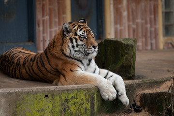 A big tiger resting on the rock