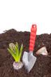 Hyazinthe einpflanzen