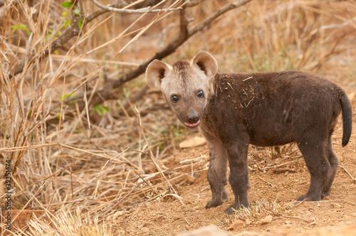Papiers peints Hyène Spotted hyena pup