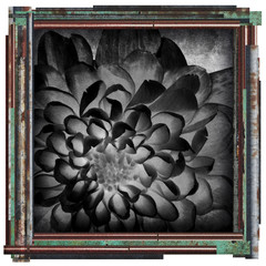 black and white flower picture