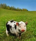 Fototapety Small lovely pig on fresh grass of farmland