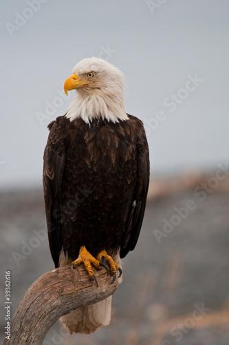 Spoed canvasdoek 2cm dik Eagle American Bald Eagle