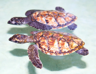 Two sea baby turtle  swimming in tropical water
