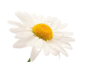 daisy with dew drops isolated